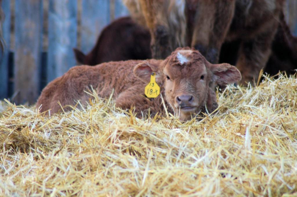 tagged calf