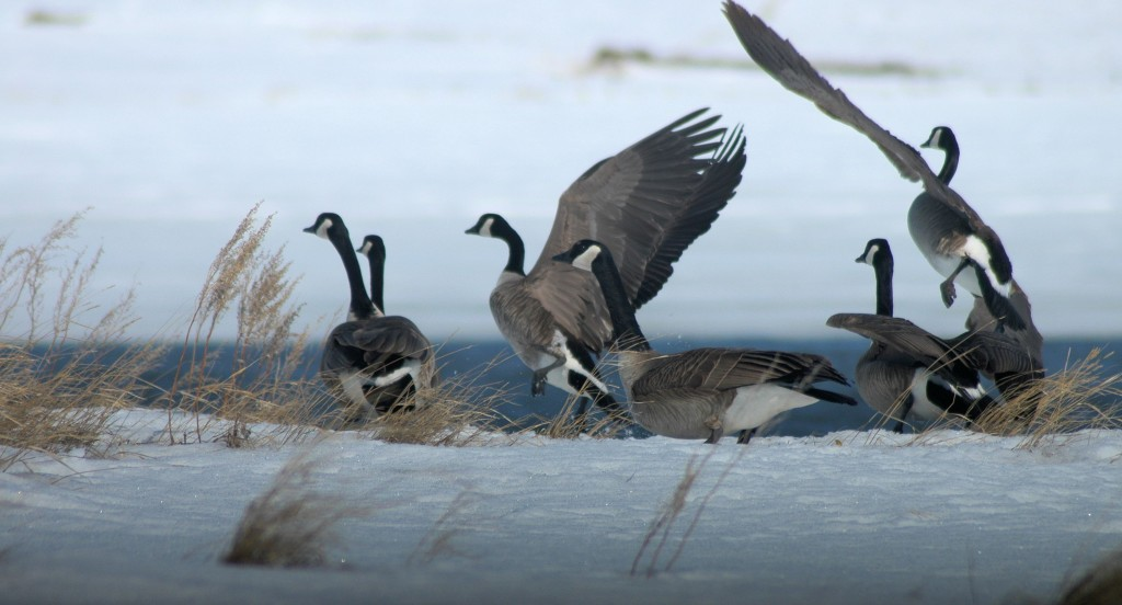Canada geese in early spring
